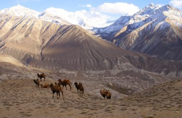 Camels-in-Vakhan-Valley